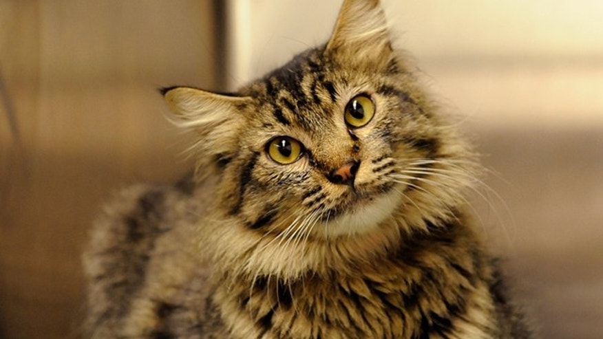 Charles the cat  traveled 1,300 miles from his home in New Mexico to Chicago, where he was picked up as a stray. (AP)