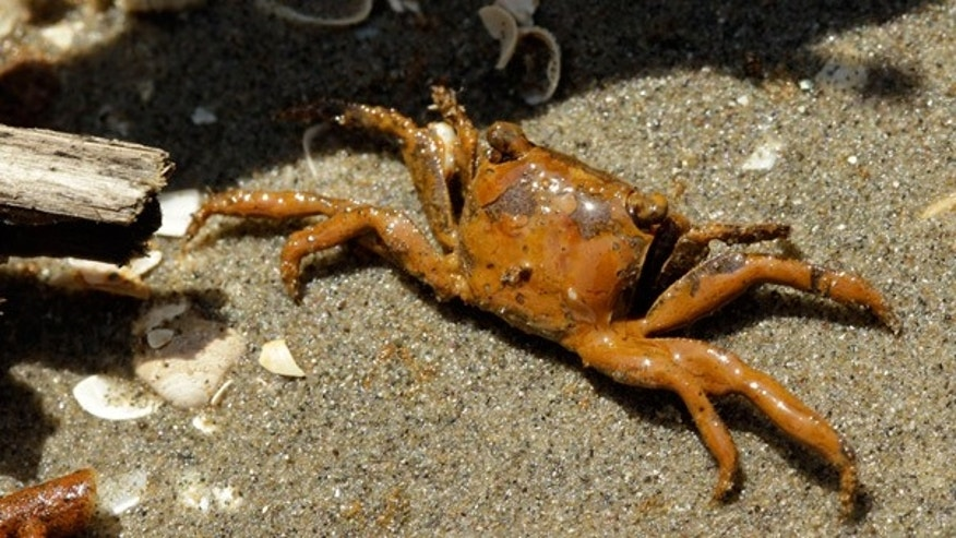 May 19: An oil-covered crab is seen on a beach at the mouth of the Mississippi River near Venice, La.