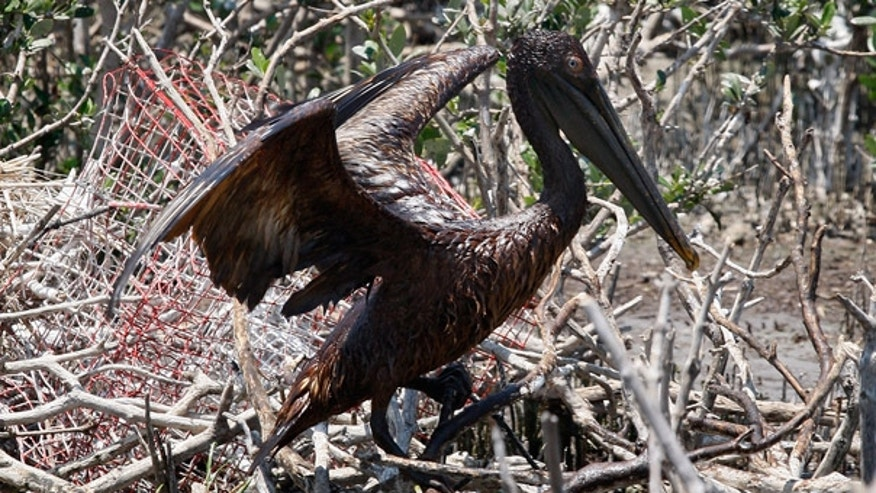 May 23: An oil-covered pelican flaps its wings on an island in Barataria Bay off the coast of Louisiana.