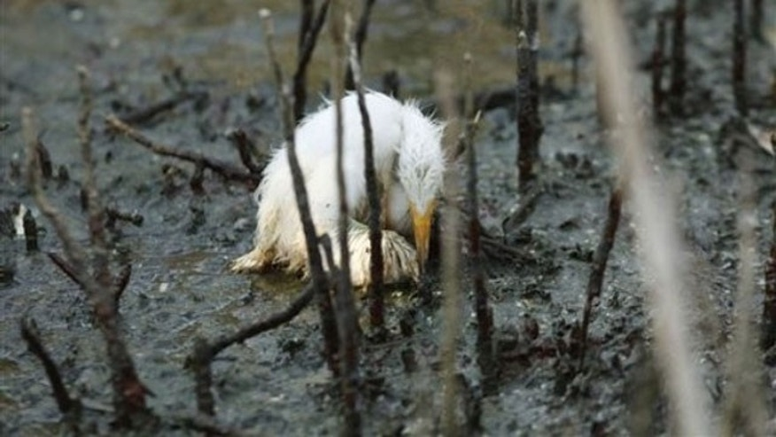 May 23: A young heron sits dying amidst oil splattering underneath mangrove on an island impacted by oil from the Deepwater Horizon oil spill in Barataria Bay, just inside the the coast of Lousiana. The is home to hundreds of herons, brown pelicans, terns, gulls and roseate spoonbills (AP).