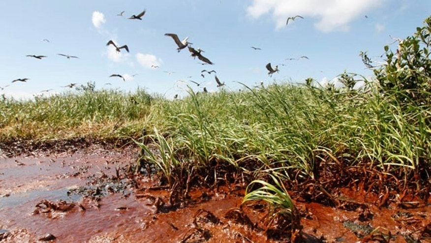 May 22: Nesting pelicans are seen landing  in the marshes of Barataria Bay as oil washes ashore.  Oil from the Deepwater Horizon oil spill is now impacting large stretches of the Louisiana Coast.