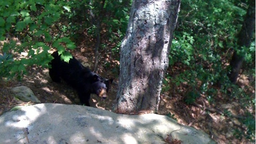 June 27: This photo provided by Tim Scott shows a black bear walking in the woods near Stanton, Ky. Tim Scott, who was attacked by the bear in eastern Kentucky, says he was about to stab the bear in the eye with his pocket knife when another hiker threw his day pack and distracted the animal. Scott says he was treated at University of Kentucky Hospital in Lexington and received 50 to 60 stitches for his wounds. (AP)