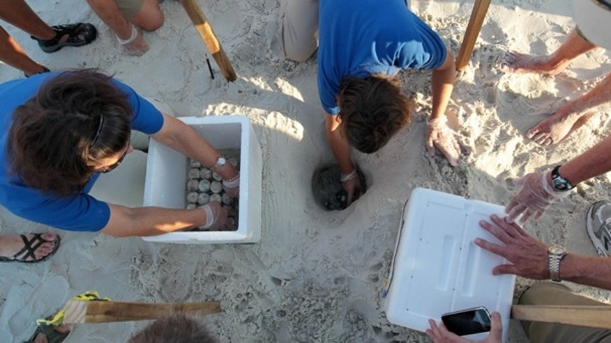 July 9: Researchers and biologists harvest sea turtle eggs from the sand in Port St. Joe, Fla. U.S. Fish and Wildlife and other authorities are relocating thousands of sea turtle eggs to a warehouse on the East coast of Florida in an effort to save them from an oily death from the Deepwater Horizon incident. (AP)