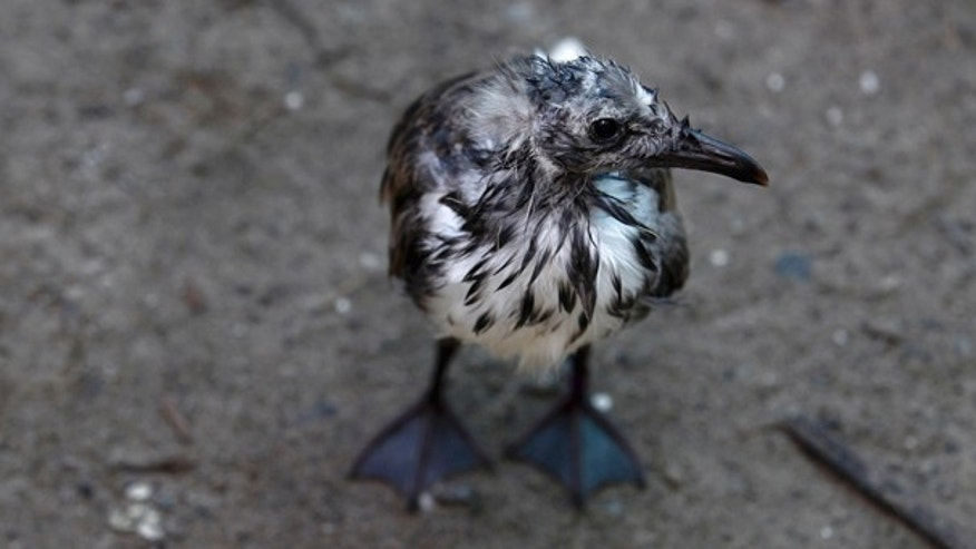 July 8: A baby laughing gull impacted by oil from the Deepwater Horizon oil spill is seen at the Fort Jackson Wildlife Rehabilitation Center in Buras, La. (AP)