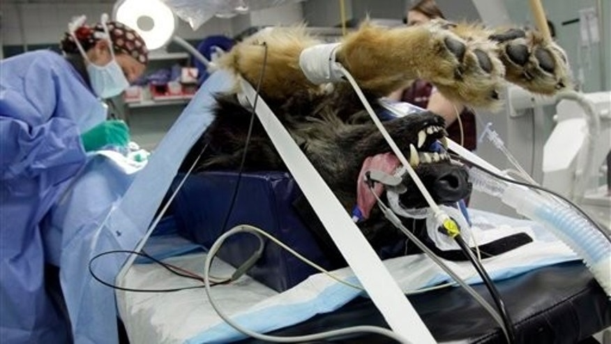 June 22: A German Shepherd receives chemotherapy from Dr. Allyson Berent at the Animal Medical Center of New York. (AP)
