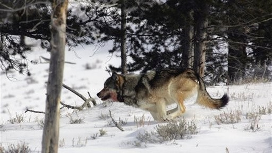 February 16: A gray wolf is seen on the run near Blacktail Pond in Yellowstone National Park in Park County, Wyo. Tens of thousands of gray wolves would be returned to the woods of New England, the mountains of California, the wide open Great Plains and the desert West under a scientific petition filed with the federal government Tuesday, July 20, 2010. (AP)