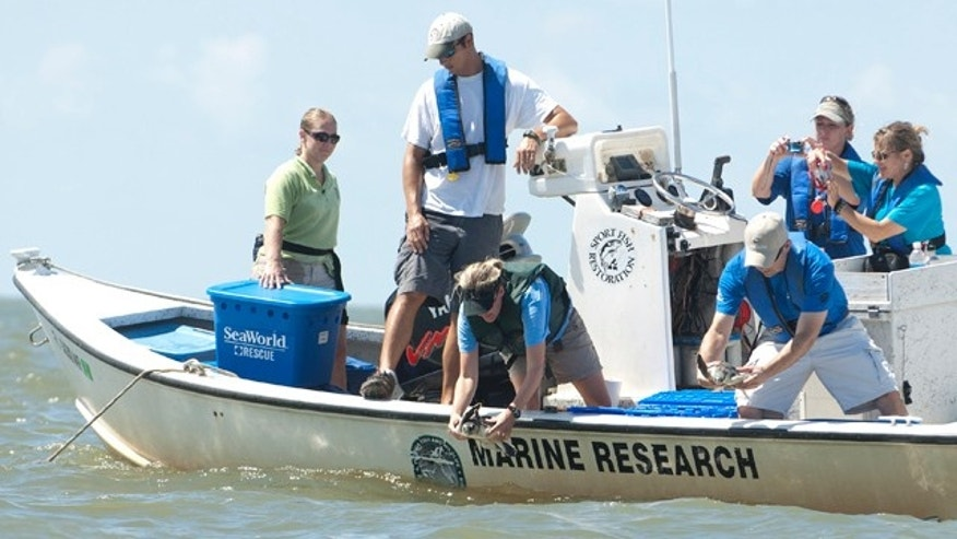 August 18: Rehabilitated kemp's Ridley sea turtles are release off of Cedar Key ,Fla.,  by NOAA scientists. The twenty three turtles were found between 40 and 60 nautical miles offshore of Destin, Florida and Venice, La. (AP)