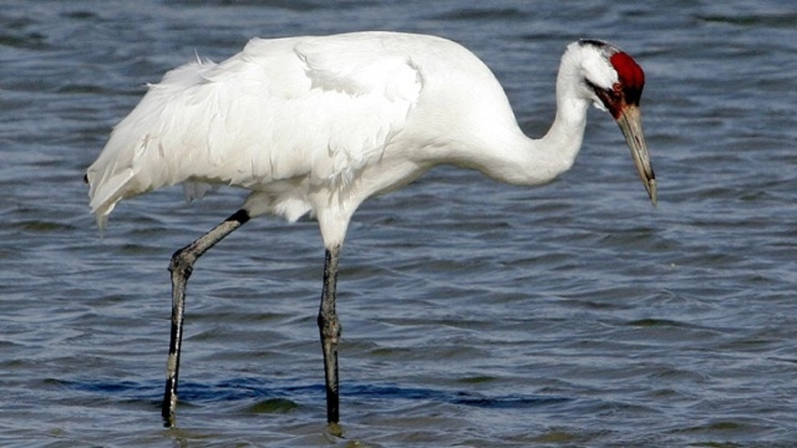 In this Jan. 15, 2006 file photo, a whooping crane searches for food at the Aransas National Wildlife Refuge near Rockport, Texas. (AP)