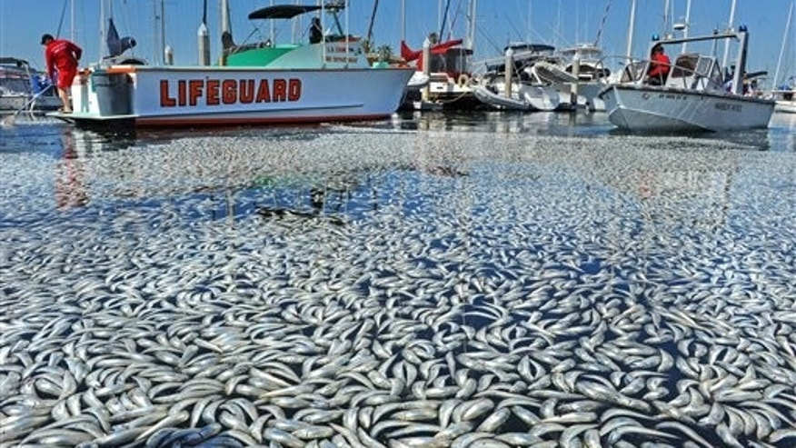 March 8: Dead fish float in the King Harbor area of Redondo Beach, south of Los Angeles. An estimated million fish turned up dead on Tuesday, puzzling authorities and triggering a cleanup effort. (AP/The Daily Breeze)