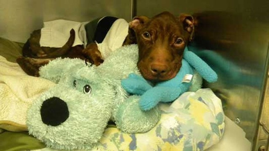Patrick the pit bull was found starved and barely alive inside a garbage chute at the Garden Spires apartment complex in Newark, N.J.,  on March 16 (AHS).