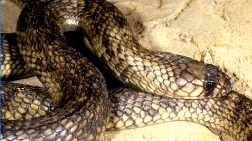 An Egyptian cobra, similar to the one seen here, has escaped from on off-exhibit enclosure at the Bronx Zoo March 25. The exhibit will remain closed until the snake is found, museum officials said.