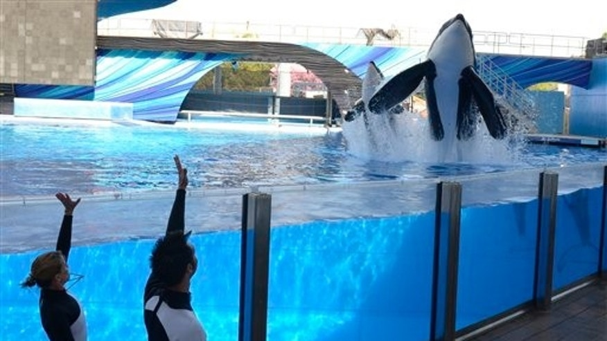 March 7: SeaWorld's theme parks are slowly working to get trainers back in the water one year after the 6-ton orca named Tilikum drowned a trainer.