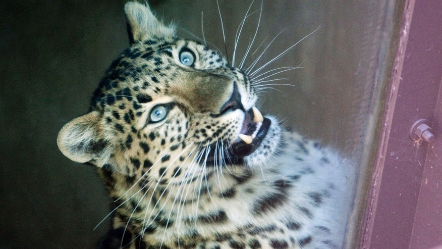 May 6: This Amur Leopard is seen after it attacked a child through the fence surrounding its enclosure at the Sedgwick County Zoo in Wichita, Kan. A first-grade student on a class field trip to a Wichita zoo has been mauled by a leopard after climbing a railing and approaching the animal. (AP/The Wichita Eagle)