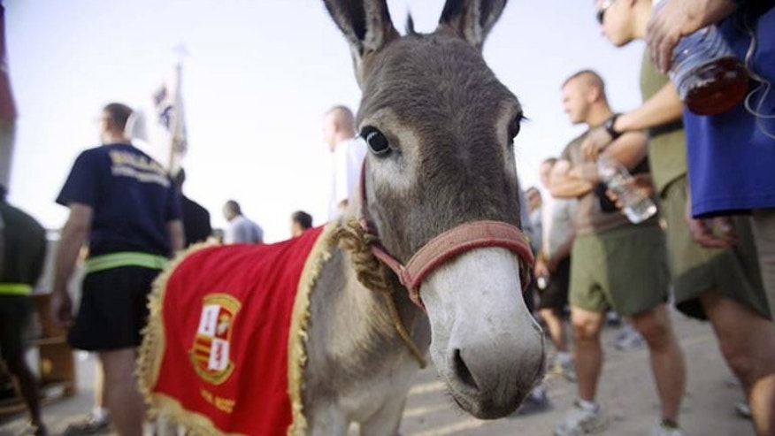 In this Sept. 11, 2008 photo provided by the Department of Defense and Retired Marine Col. John Folsom, Smoke the Donkey takes part in a Freedom Walk event at Camp Taqaddum, Iraq. It took 37 days and a group of determined animal-lovers, but the donkey from Iraq is now a U.S. resident.