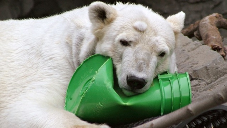 "In this March 25, 2005 file photo, a polar bear named ""Ida"" rests her head on a bucket at the Central Park Zoo in New York. Zoo officials say Ida was euthanized on Friday, June 3, 2011, after veterinarians determined she had liver disease brought on by cancer. She was 25. (AP Photo/Mary Schwalm, File)"