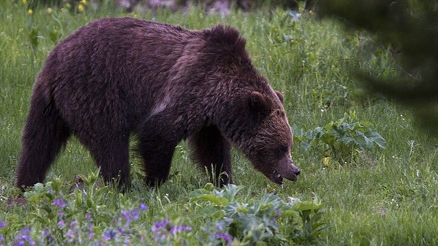 July 6: A grizzly bear roams near Beaver Lake in Yellowstone National Park, Wyoming.
