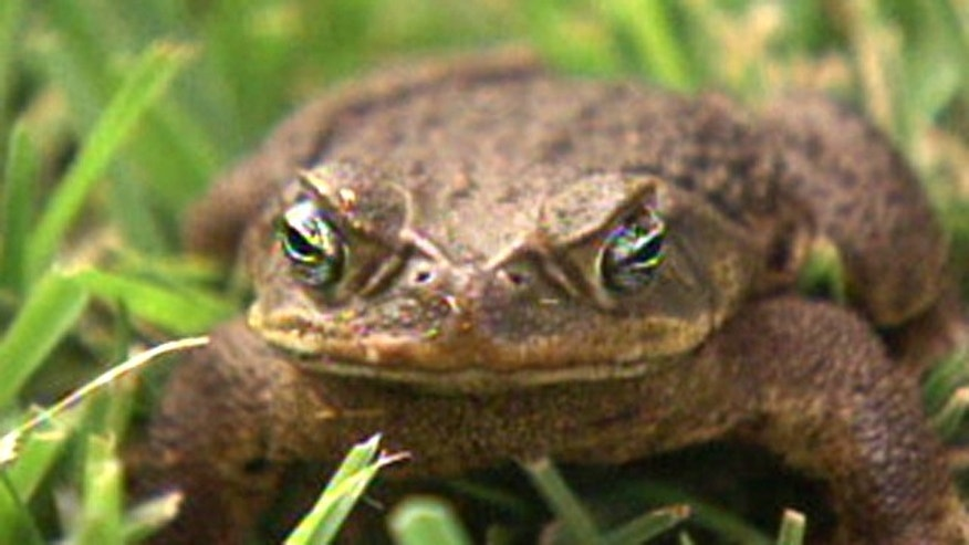 The Bufo Toad