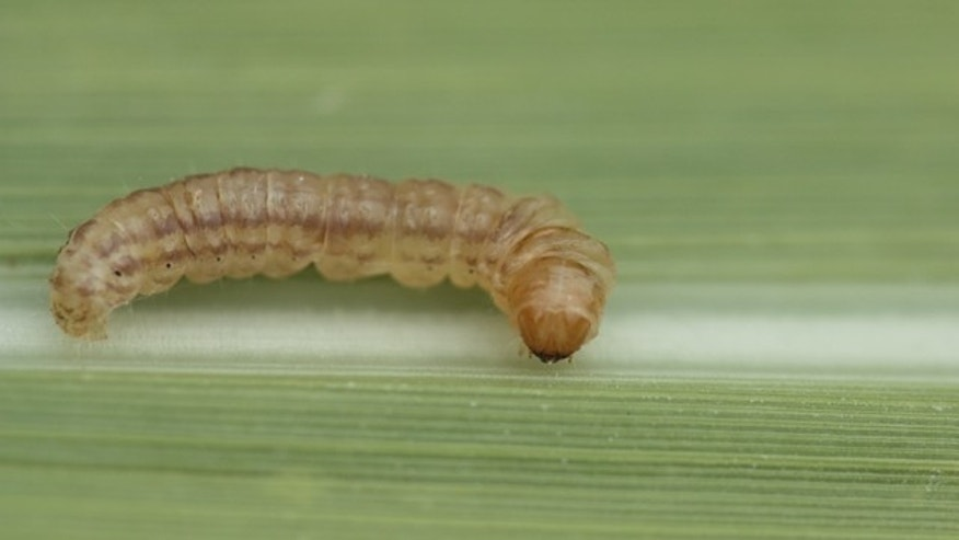 Mexican rice borer is seen on a sugarcane leaf.