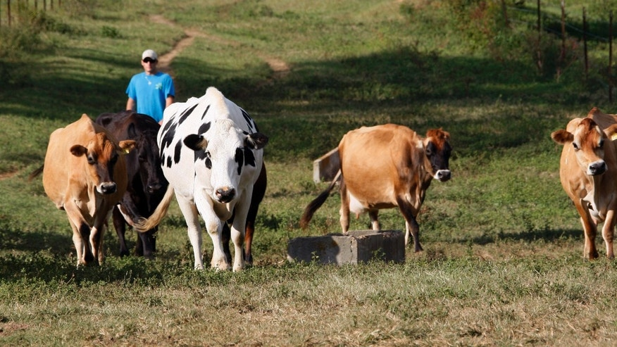 Oct. 6, 2011: Daniel Mauthe, 19, herds some of Mauthe's Progress Dairy Farm's 14 cows towards the milking barn in Progress, Miss. The Mauthe family plans to use the $20,000 micro-loan from celebrity chef John Besh's foundation to rebuild their business, upgrade equipment and gradually expand their market from the New Orleans area to other parts of Louisiana and Mississippi.