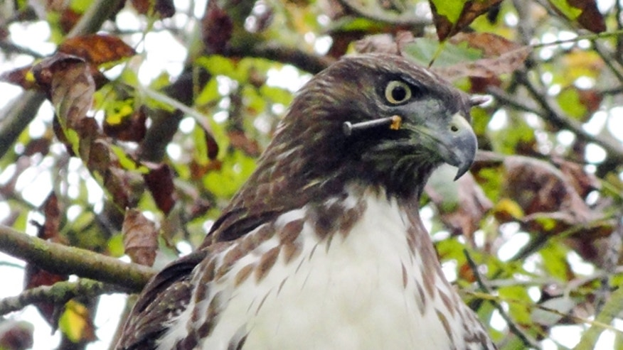 Oct. 18, 2011: A red-tailed hawk is seen with a nail in its head at Golden Gate Park in San Francisco.
