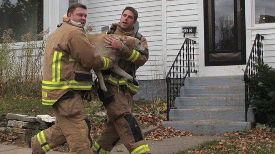 Oct. 18, 2011: Wausau firefighters Jared Thompson, left, and Jamie Giese race down a sidewalk in Wausau, Wis., carrying a dog they had just rescued from a house fire and given mouth-to-nose artificial respiration. They were carrying the dog to a nearby pick-up truck so it could be transported to an animal hospital. The dog, a 7-year-old yellow lab named Coda, was reported to be in good condition following the incident.