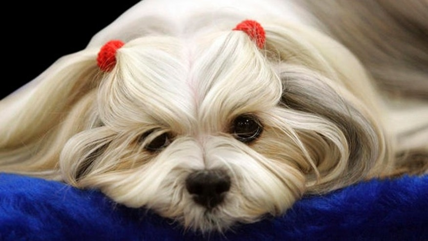 Penny from Heaven, a lhasa apso waits to be judged during the first day of the Westminster Dog Show  Monday, Feb. 14, 2011 at Madison Square Garden in New York.   (AP Photo/Jeff Christensen)