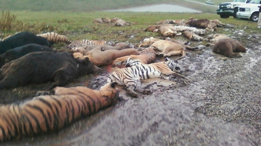 Oct. 19, 2011: Carcasses lay on the ground at the Muskingum County Animal Farm in Zanesville, Ohio. Sheriff's deputies shot 48 animals, including 18 rare Bengal tigers and 17 lions, after Terry Thompson, owner of the private Muskingum County Animal Farm near Zanesville, threw their cages open Tuesday and then committed suicide.