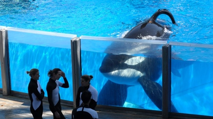 March 7, 2011: Killer whale Tilikum, right, watches as SeaWorld Orlando trainers take a break during a training session at the theme park's Shamu Stadium in Orlando, Fla.