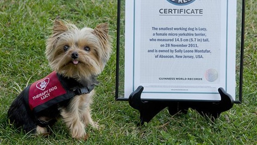 Jan. 7, 2012: This photo provided by Howie Williams shows Lucy, with her Guinness Book record certificate for smallest working dog in the world in Smithville, N.J.