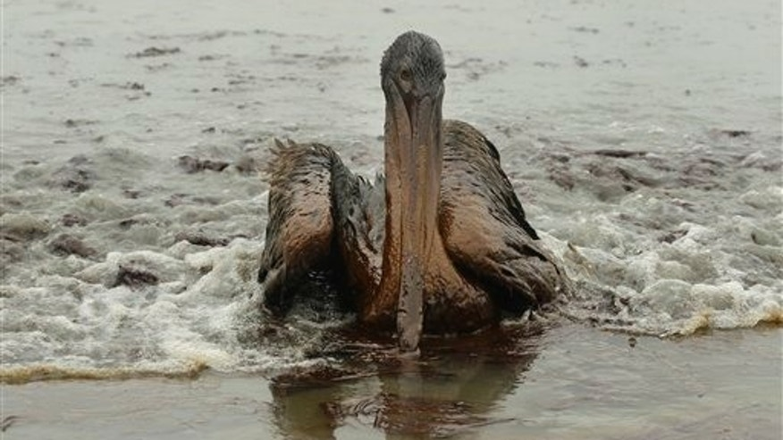 A Brown Pelican is seen on the beach at East Grand Terre Island along the Louisiana coast after being drenched in oil from the Deepwater Horizon oil spill Thursday, June 3, 2010.   The Environmental Protection Agency has not yet fined BP for the Gulf oil spill _ details of possible penalties will be worked out later.
