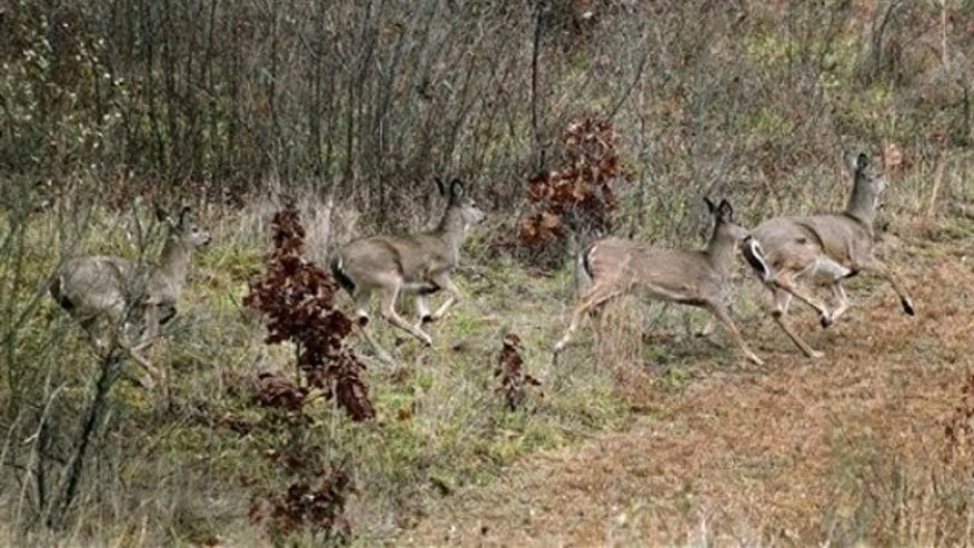 Nov. 28, 2011: Deer scramble out of the woods near a clearing in Zelienople, Pa., during hunting season. (AP)
