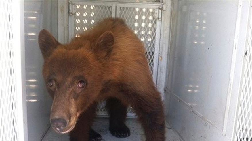 May 31, 2012: In this photo provided by Kern County Animal Control, a black bear that wandered onto school property during a Bakersfield school graduation is shown before being released in Kern County, Calif.