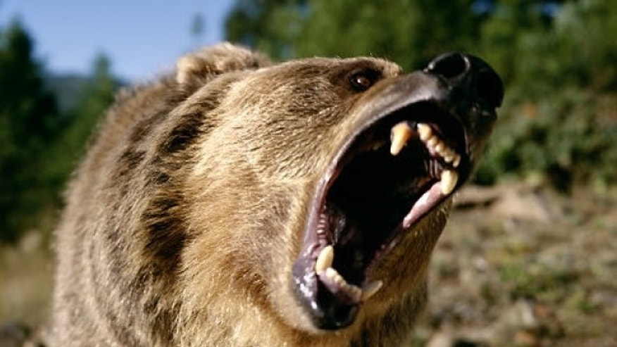 The grizzly bear population around Yellowstone National Park has rebounded after years as a protected species.