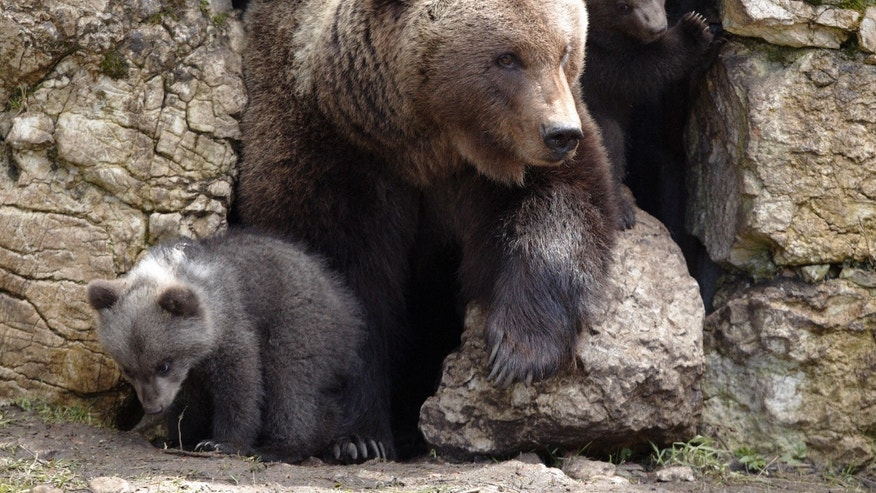 Female bear Ursina comes out of her den with two of her cubs at Juraparc animal park near Vallorbe April 20, 2012. The three cubs, called Ben, Yogy and Zora were born on an unknown date on January 2012.   REUTERS/Denis Balibouse (SWITZERLAND - Tags: ANIMALS)