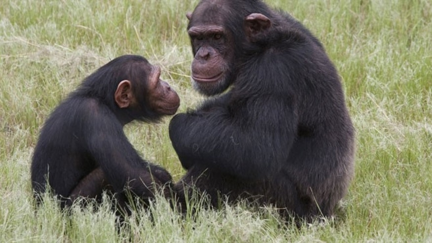 In this photo taken Feb. 1, 2011, chimpanzees sit in an enclosure at the Chimp Eden rehabilitation center, near Nelspruit, South Africa.