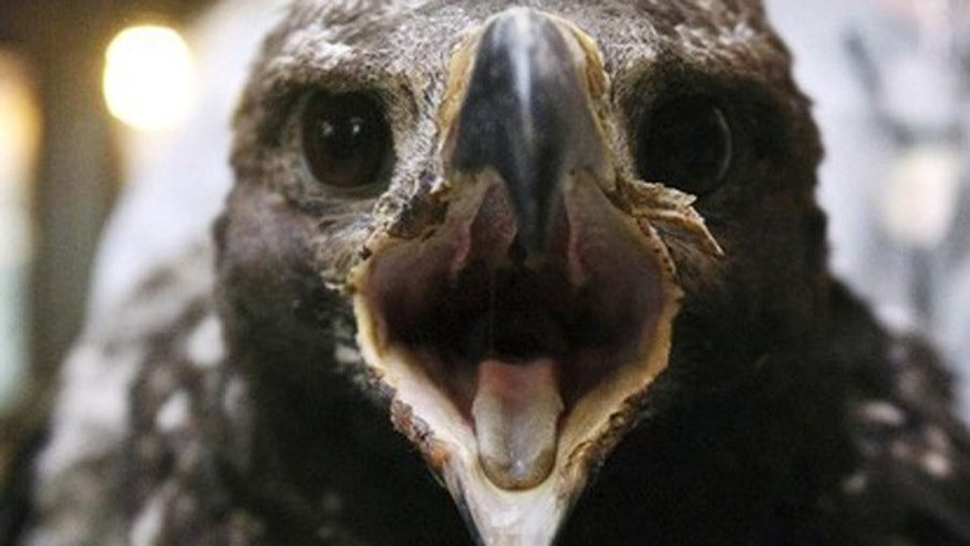 July 6, 2012: This photo shows a 70-day-old golden eagle in Ogden, Utah, that was feared lost but found burned alive on June 28 behind a charred tree, about 25 feet below the nest that was burned to a crisp in the 5,500-acre Dump Fire near Saratoga Springs.