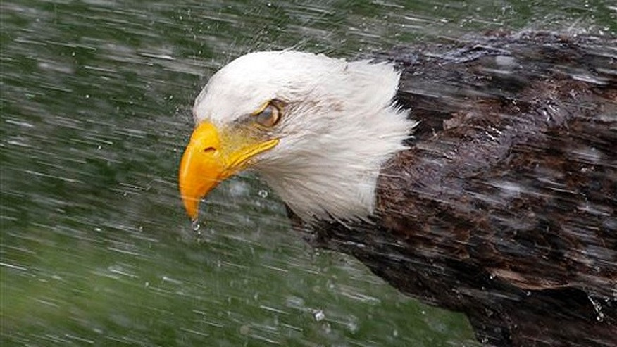 Federal law bars possession of a bald eagle - dead or alive.