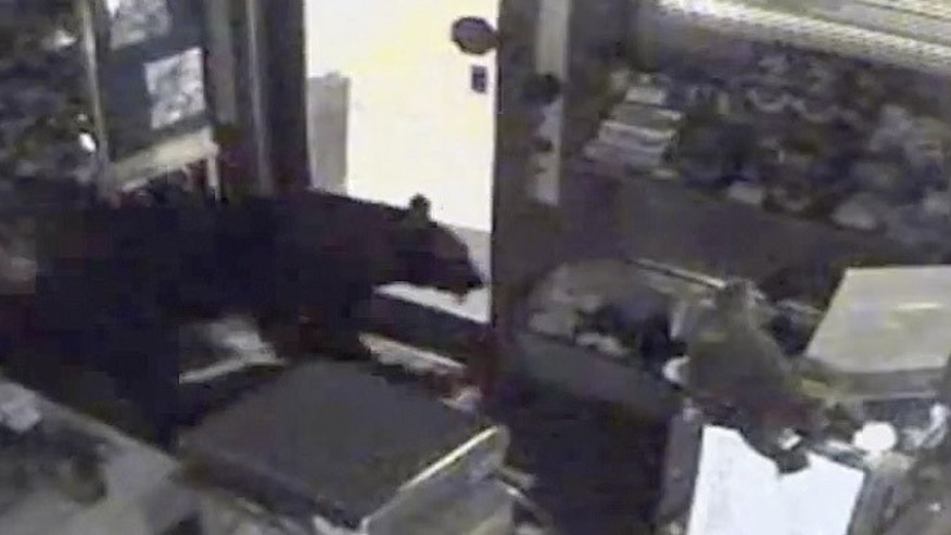 July 25, 2012: This image provided by Rocky Mountain Chocolate Factory taken from surveillance video shows a bear leaving the Rocky Mountain Chocolate Factory store in Estes Park, Colo.