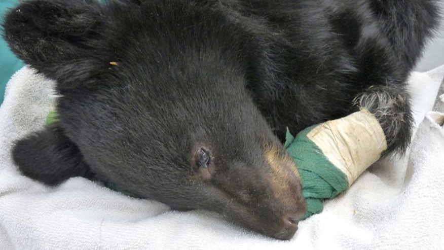 Black bear cub burned in the Mustang Fire north of Salmon, Idaho.