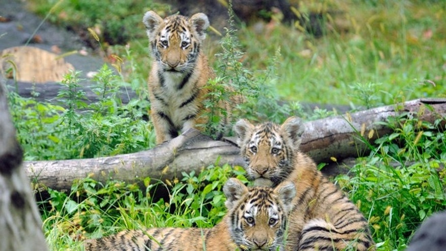 Sept. 20, 2010: In this photo provided by the Wildlife Conservation Society, three Amur tiger cubs rest by a fallen tree limb at the Tiger Mountain exhibit at the Bronx Zoo in New York.