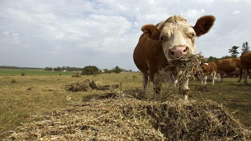 July 18, 2012: A cow feeds on hay near Rowley, Iowa.