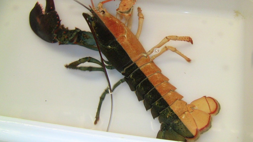 "Oct. 31, 2012: This image released by the New England Aquarium shows a one-pound female lobster, known as a ""split,"" that was caught by a Massachusetts fisherman last week and arrived at the aquarium in Boston."