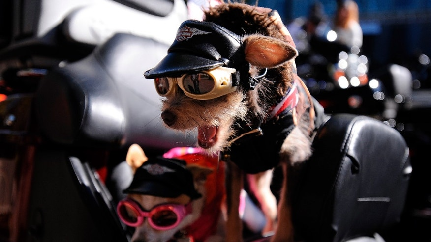 Nov. 10. 2012: Chihuahas Duke, right, and Daisy, prepare to ride aboard their owner's Harley-Davidson motorcycle to start the annual Veterans Day Parade through downtown Atlanta.