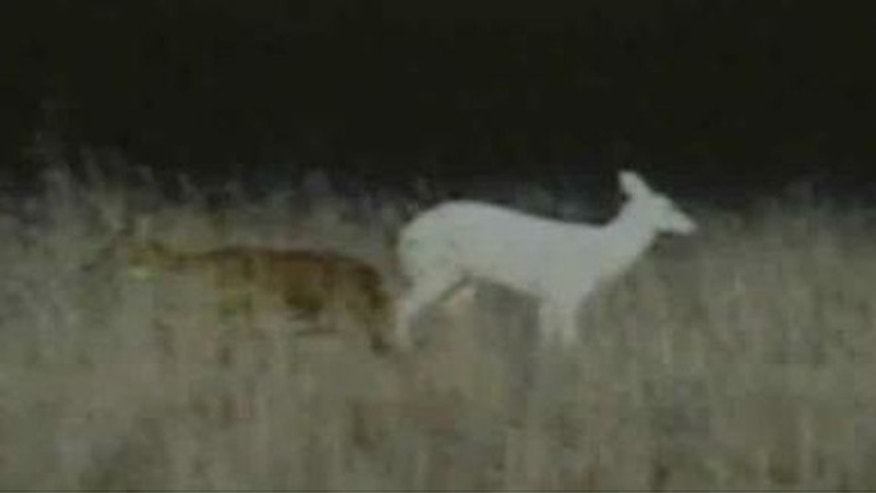 FILE: Out-of-town hunter broke an unspoken agreement by killing a rare white deer in Wisconsin.
