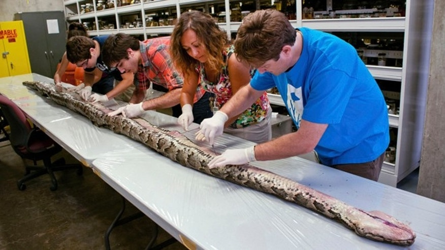 In this Aug. 10, 2012 photo provided by the University of Florida, Florida Museum of Natural History researchers, from left, Rebecca Reichart, Leroy Nunez, Nicholas Coutu, Claudia Grant and Kenneth Krysko examine the internal anatomy of the largest Burmese python found in Florida to date, on the University of Florida campus.