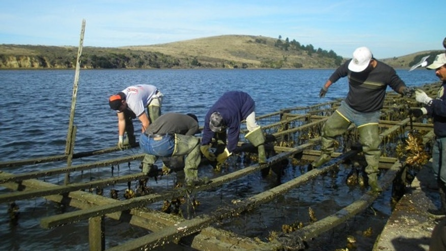 Employees harvest oysters at Drakes Bay Oyster Company, which produces nearly 460,000 pounds of shucked oysters annually and employs 30 people. (Courtesy: Drakes Bay Oyster Company)