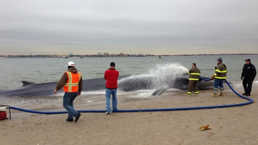 A 30-foot whale washed up along the shore of Southern Queens