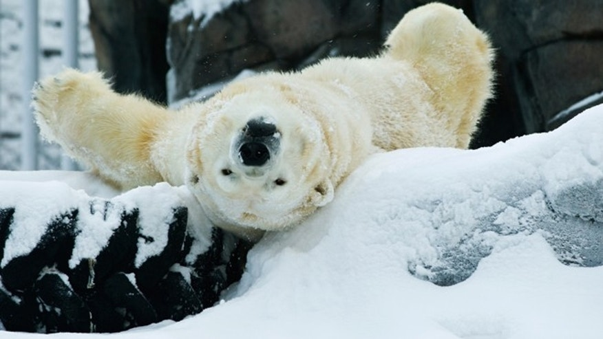 Dec. 26, 2012: Lyutyik, one of two polar bears at the Alaska Zoo in Anchorage, Alaska, rolls in snow and yawns in his enclosure.