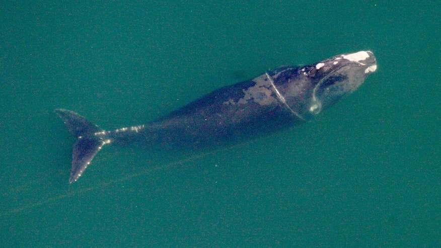 In this Dec. 18, 2008 photo provided by The Wildlife Trust/Georgia Department of Natural Resources, a right whale named Equator swims entangled in fishing line offshore of Cumberland Island, Ga. The endangered right whale that Georgia wildlife biologists once freed from fishing line caught around its midsection has returned off the coast four years later with a newborn calf in tow. Whale watchers at the state Department of Natural Resources are celebrating, saying it's the first time a whale saved from entanglement in Georgia waters has come back to give birth. (AP Photo/The Wildlife Trust/Georgia Department of Natural Resources)