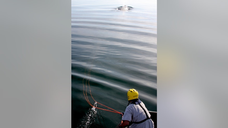 In this Dec. 18, 2008 photo provided by The Georgia Department of Natural Resources, biologist Mark Dodd prepares to cut rope off of from an entangled right whale named Equator offshore of Cumberland Island, Ga. The endangered right whale that Georgia wildlife biologists once freed from fishing line caught around its midsection has returned off the coast four years later with a newborn calf in tow. Whale watchers at the state Department of Natural Resources are celebrating, saying it's the first time a whale saved from entanglement in Georgia waters has come back to give birth. (AP Photo/Georgia Department of Natural Resources)
